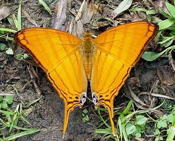 darein buttefly