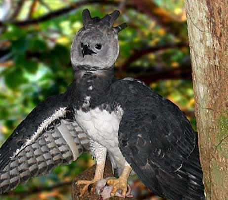 Darien Harpy eagle