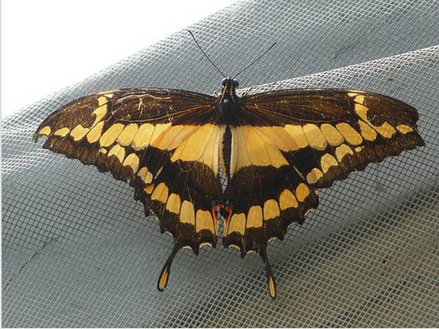 panama-el-valle-day-tour-Brown-and-Yellow-Butterfly-in-el-nispero-zoo