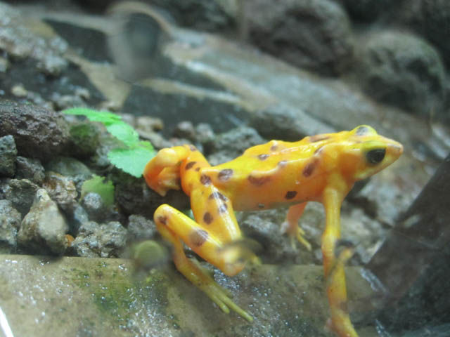 panama-el-valle-day-tour-a-golden-frog-in-el-valle