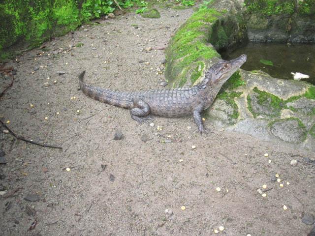 panama-el-valle-day-tour-zoo-cocodrilo