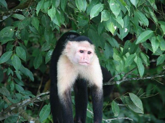panama-san-lorenzo-gatun-locks-day-tour-monkey-in-gamboa