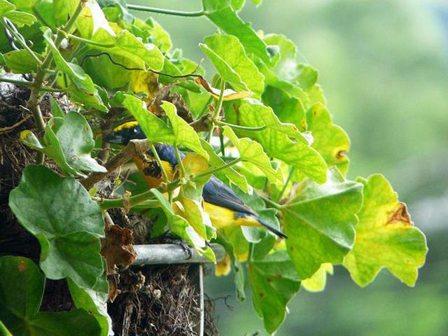 Panama Boquete Birdwatching