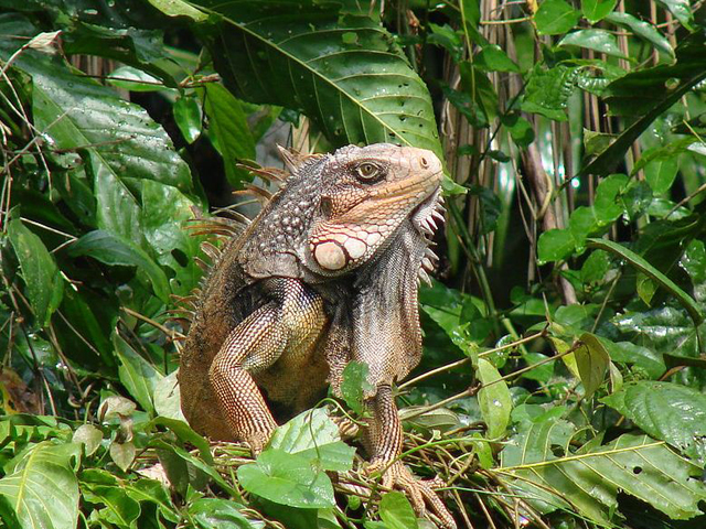panama-Canal-Jungle-Day-Tour-iguana
