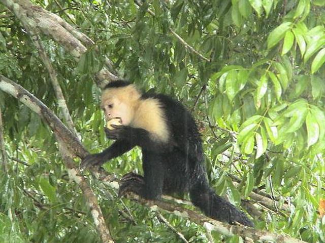 panama-Canal-Jungle-Day-Tour-monkey-eat