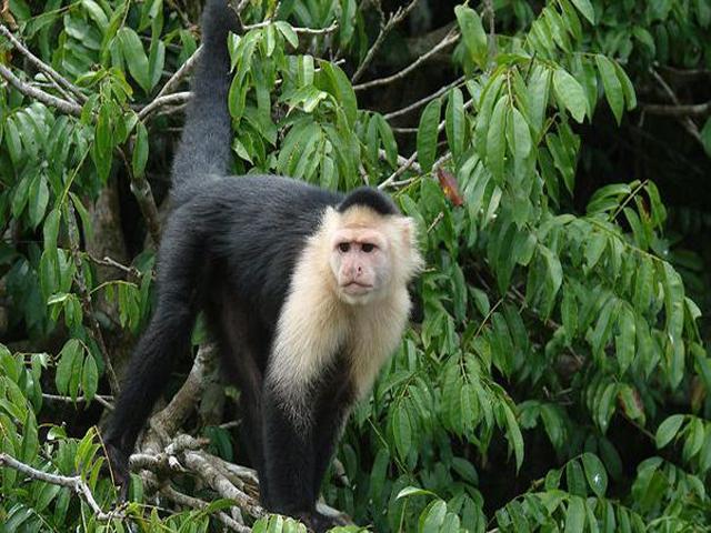 panama-Canal-Jungle-Day-Tour-monkey